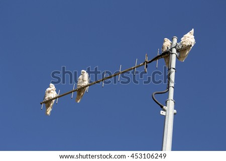 Some  cheeky blue eyed  white Australian corellas Licmetis  a subgenus of white cockatoos  (genus Cacatua) are  perching on a suburban TV antenna on a fine  afternoon in late spring.  - stock photo