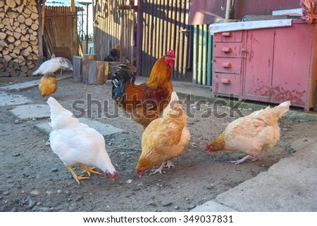 some chicken and a cock in the backyard - stock photo