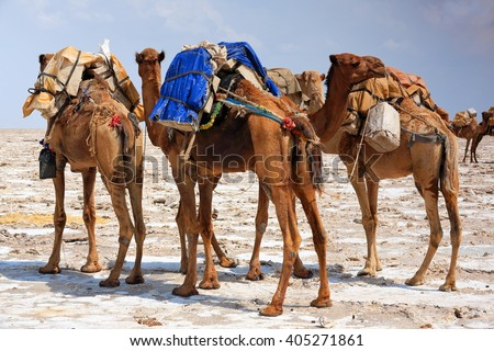 Some dromedaries just loaded with amole-salt slabs of the ganfur-4 kg.size to transport them to Berahile market 75 km.across the desert. Lake Assale or Karum salt works-Danakil-Afar region-Ethiopia - stock photo