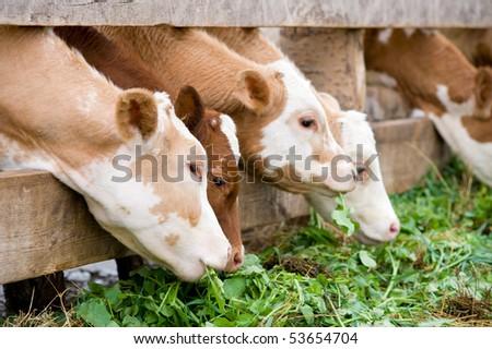 some farm calves eating green grass fodder - stock photo