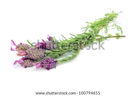 some flowers of Lavandula stoechas, Spanish lavender, on a white background - stock photo