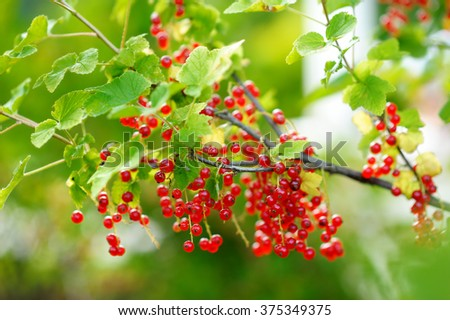 Some fresh ripe red currants on the branch - stock photo