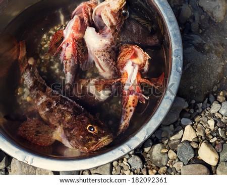 Some fresh scorpion-fish (Scorpaenidae) caught in a bowl - stock photo