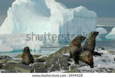 Some fur seals in front of a beautiful Antarctic iceberg scenery. Picture was taken on Adelaide Island during a 3-month Antarctic research expedition.