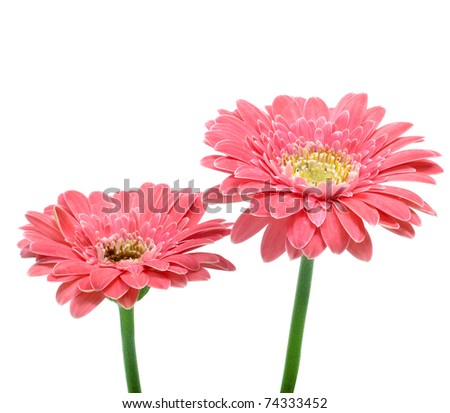 some gerbera daisies on a white background