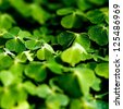Some growing clover plants in the forest. - stock photo