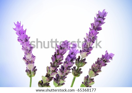 some lavender flowers on a degraded background