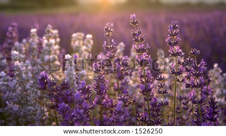Some lavender with the sun setting behind it - stock photo
