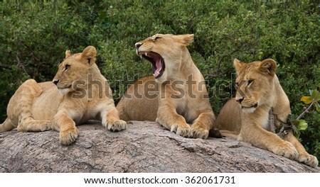 Some lions lie on a large rock. Kenya. Tanzania. Maasai Mara. Serengeti. An excellent illustration. - stock photo