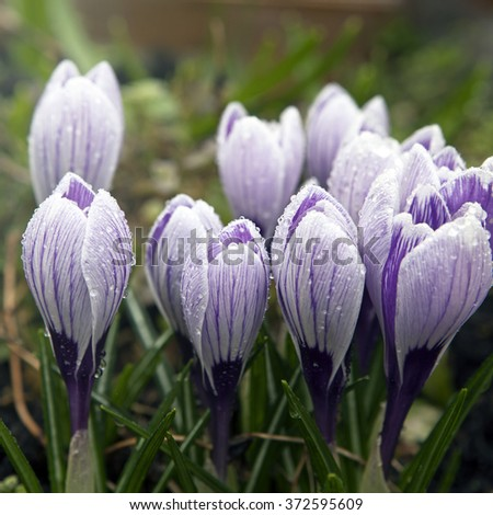 Some multi-colored snowdrops, crocuses , against a green grass.Selective focus - stock photo