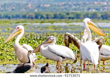 Some Pelicanos in the Lake Naivasha in the Kenya - stock photo