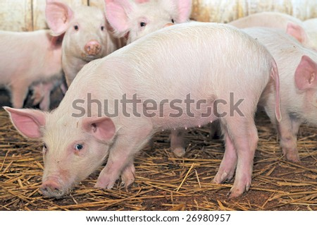Some pigs who are in a shed