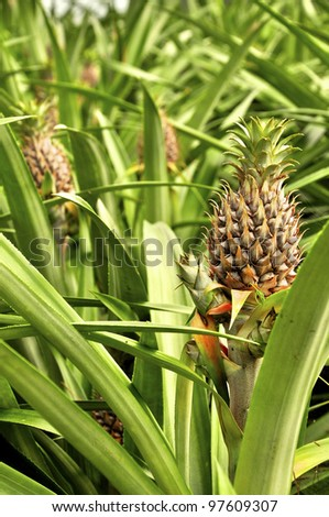 Some pineapples growing on a pineapple farm - stock photo