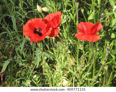 Some poppies on green field in sunny day. Color photo of flowers. Photo for backgrounds.  - stock photo