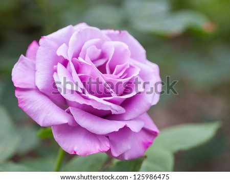 Some purple yellow roses in the garden - stock photo