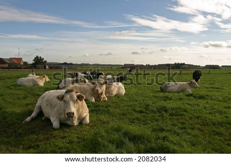 Some relaxing cows - stock photo