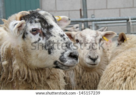 Some Sheep in a Market Sale Holding Pen.