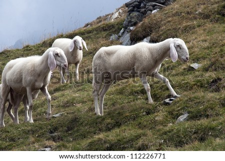 Some sheep in Alps mountains - stock photo