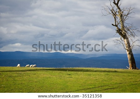 Some sheep peacefully grazing, with mountains providing a great background. Taken in central Tasmania, Australia. - stock photo