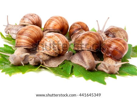 some snails crawling on the grape leaves white background - stock photo
