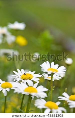 Some spring daisies growing wild, focus on one with a bug on it, against a blurred background. - stock photo