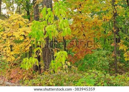 Some things God means for you to appreciate without possessing. Poison ivy in the undergrowth keeps us out, but we can still enjoy the view. Autumn foliage at St. Louis Forest Park in October. - stock photo