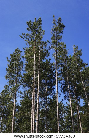 Some very tall, straight growing pine trees against blue sky. - stock photo