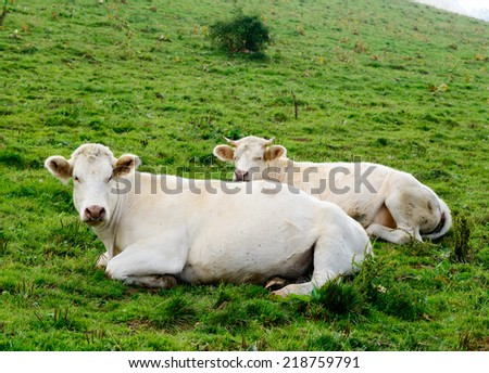 some white cows in the mountain pastures - stock photo