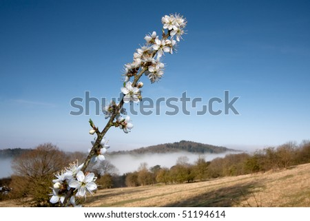 Some white tree blossom foreground with a mistly landscape background.   Taken early morning at Newlands Corner near Guildford in Surrey, UK. - stock photo