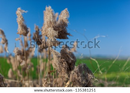 some yellow canes inflorescence with a green field and intense blue sky - stock photo