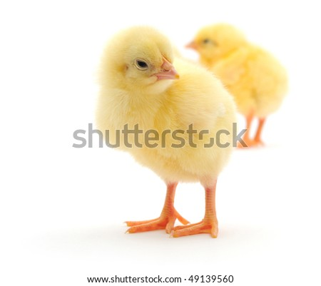 Some yellow chickens who are represented on a white background.