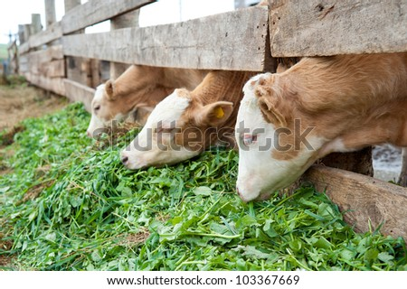 some young farm calves eating grass fodder - stock photo