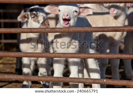 Some young lambs running and playing fenced in - stock photo