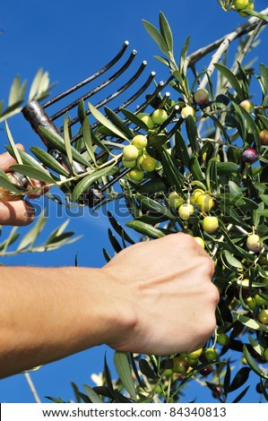 someone harvesting olives in an olive grove in Spain - stock photo