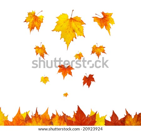 Somes maple leaves falling on white background