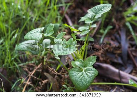 Sonchus oleraceus - stock photo