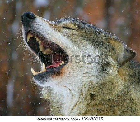 song of the wolf - stock photo