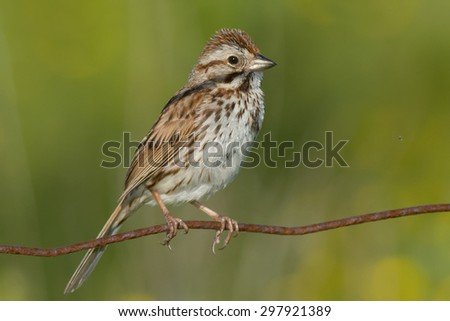 Song Sparrow perched on a page wire fence. - stock photo