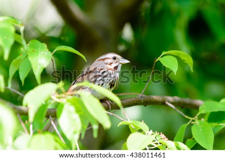 SONG SPARROW PERCHED ON A TREE BRANCH NEAR THE NEST