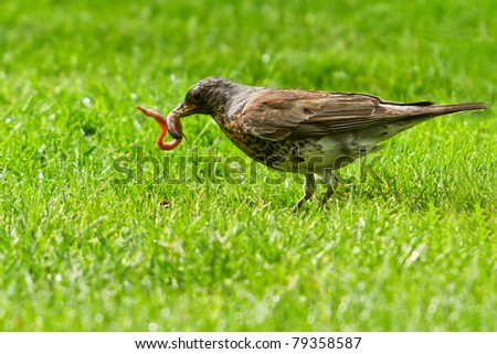 Song Thrush catch earthworm - stock photo