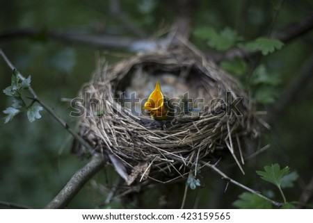 Song thrush chicks sitting in a nest on a tree. - stock photo