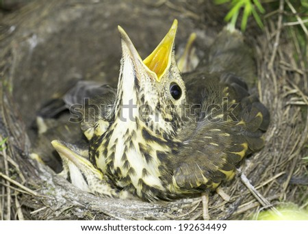 song thrush nest with baby birds / Turdus philomelos  - stock photo