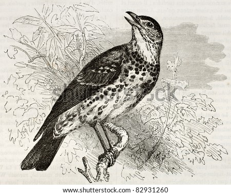 Song Thrush old illustration (Turdus philomelos). Created by Kretschmer, published on Merveilles de la Nature, Bailliere et fils, Paris, 1878 - stock photo