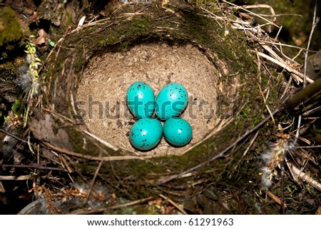 Song Thrush,  Turdus philomelos. The Nest of bird with blue eggs. - stock photo