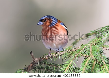 songbird Chaffinch sings on the branches of spruce spring - stock photo