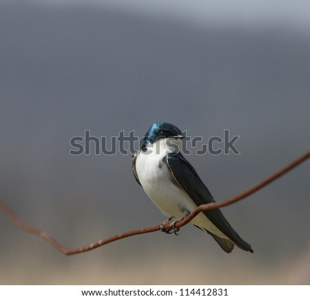 Songbird perched on a crooked wire. - stock photo
