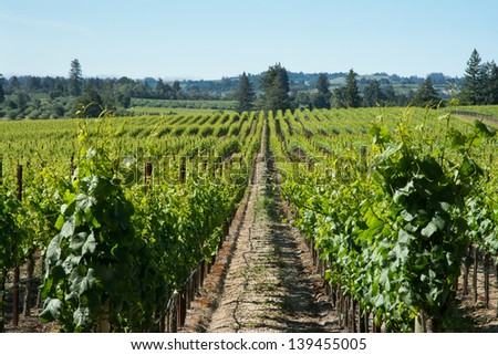 Sonoma County Vineyard - stock photo