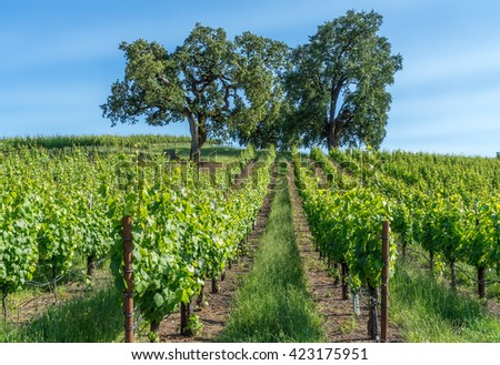 Sonoma vineyards and oaks