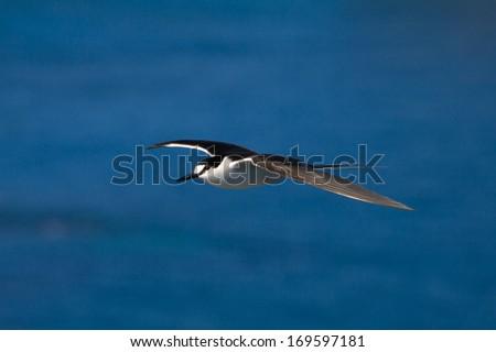 Sooty Tern (Sterna fuscata) on Lord Howe Island - stock photo