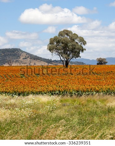 sorghum, a cereal grain, is the fifth most important cereal crop in the world, largely because of its natural drought tolerance and versatility as food, feed and fuel - stock photo